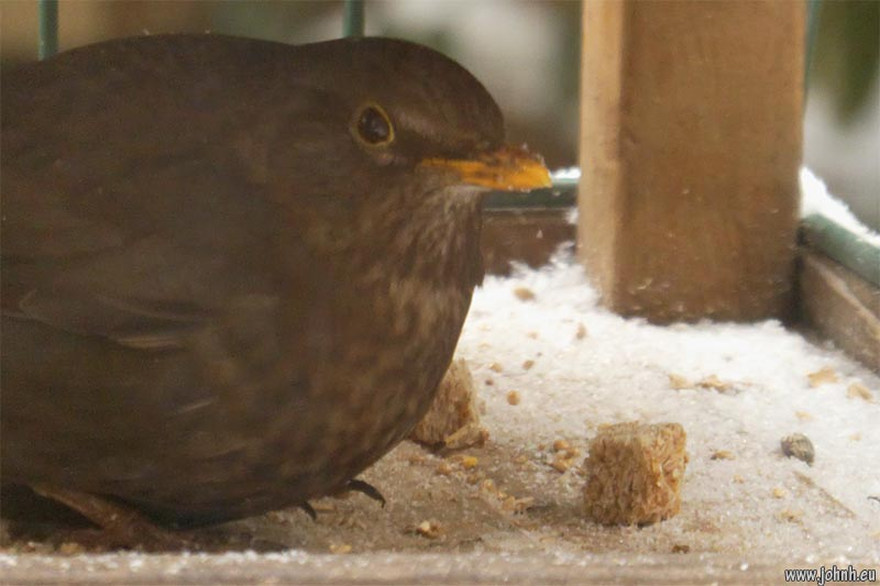 Female blackbird shelters from the blizzard
