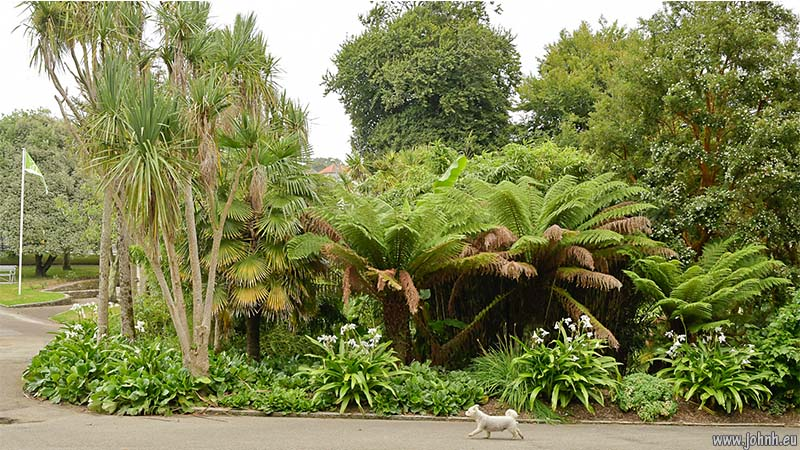 Dickensia tree ferns in Falmouth's Kimberley Park