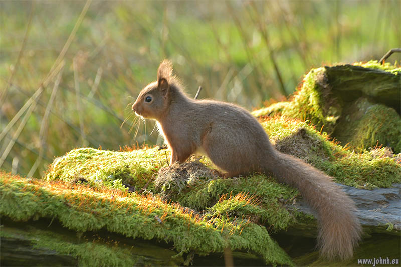 Red squirrel on the lower slopes of Blencathra